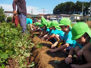 お芋堀り~Sweet Potato Digging~ By Jungle Class